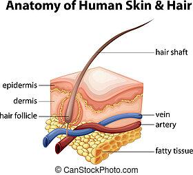 Anatomie der menschlichen Haut und Haare.