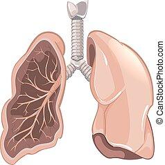 Anatomie der menschlichen Lungen, Krebs-Vektordiagramm