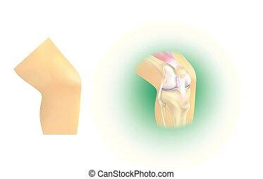 Anatomie des Kniegelenks.