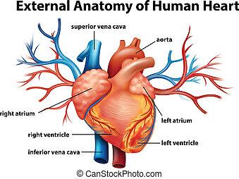 Anatomie des menschlichen Herzens.