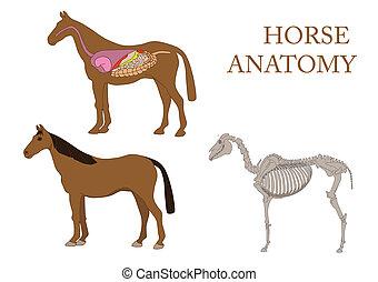 Anatomie des Pferdes.