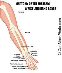 Anatomie des Unterarms, des Handgelenks und der Handknochen
