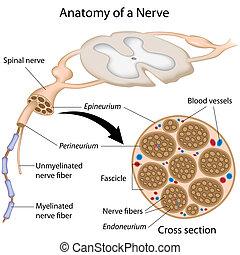 Anatomie eines Nervs
