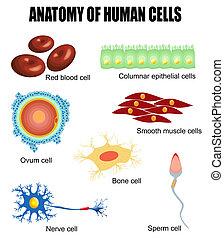 Anatomie menschlicher Zellen