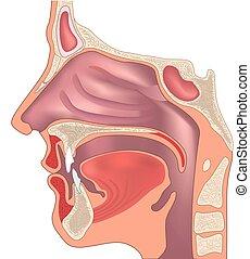 Anatomie von Nase und Hals. Menschliche Organstruktur. Medizinisches Zeichen