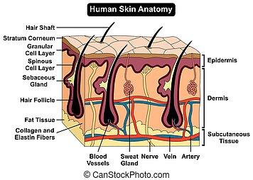 Anatomiediagramm der menschlichen Haut.