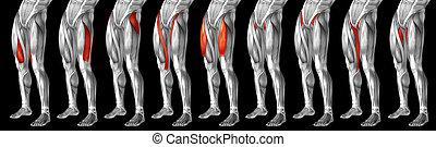 anatomisch, 3d, menschliches bein, höher, koerperbau, satz, oder, muskel, sammlung