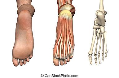 Anatomische Überlagerungen - Fuß