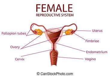 Anatomisches Banner. Weibliches Fortpflanzungssystem.