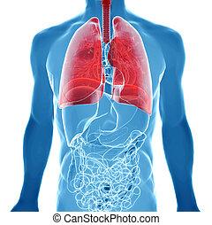 Anatomy der menschlichen Lunge in Röntgenblick.