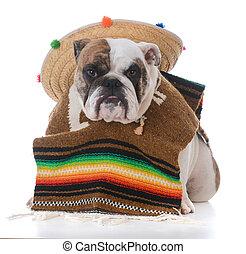 angezogene , mexikanisch, hund, mögen
