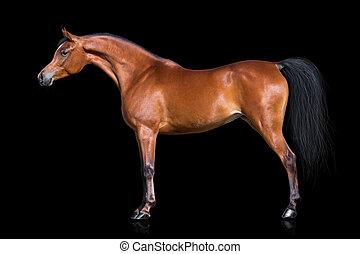 Arabisches Pferd auf schwarz isoliert.