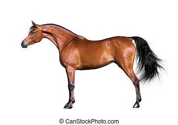 Arabisches Pferd auf weiß.