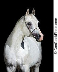 Arabisches Pferd isoliert auf schwarz