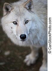 arktischer Wolf (Canis lupus arctos) aka Polarwolf oder weißer Wolf - ein Bild dieses wunderschönen Raubtiers