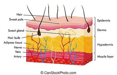 arterie, koerper, schweißperlen, schichten, zubehörteil, anatomy., drüse, epidermis, vektor, haar, querschnitt, struktur, vene, dermis, haut, hypodermis., abbildung, menschliche