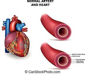 Arterie und Herz.