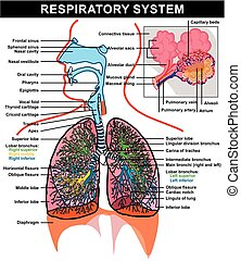Atemsystem Anatomiediagramm.