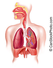 atmungs, abschnitt, system, kreuz, voll, menschliche