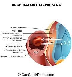atmungs, alveole, membrane