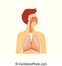 atmungs, isolated., medizinisches system, abbildung, anatomisch, vektor, schema