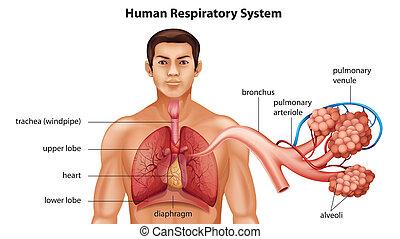 atmungs, menschen, system
