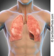 atmungssystem, menschliche