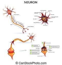 ausführlich, koerperbau, neuron