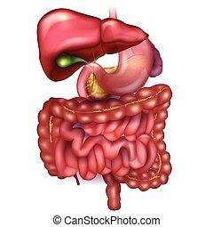 ausführlich, magen, organe, bunte, umgeben, andere, leber, gastrointestinales gebiet, zeichnung