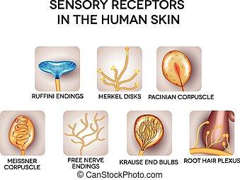 ausführlich, sensorisch, rezeptoren, haut, menschliche , illustrations.