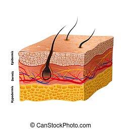 ausführlich, struktur, medizinische abbildung, menschliche haut