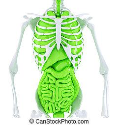 ausschnitt, skelett, organs., isolated., enthält, intern, menschliche , pfad