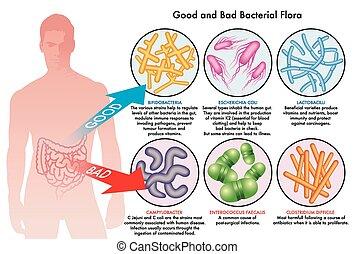 bakteriell, flora, darm
