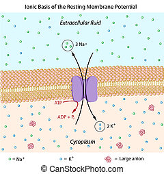 basierend, potential, membrane