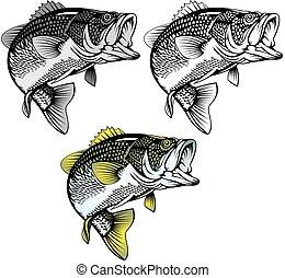 Bassfisch isoliert.