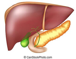 Bauchspeicheldrüse und Leber