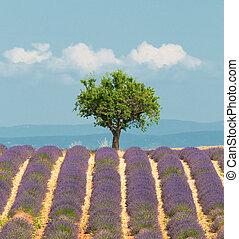 Baum im Lavendelfeld, Provence, Frankreich