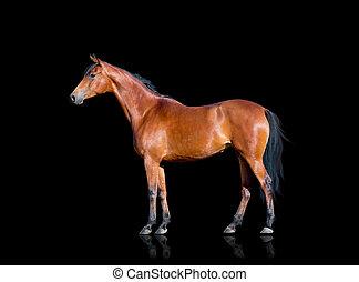 Bay Horse isoliert auf schwarz.