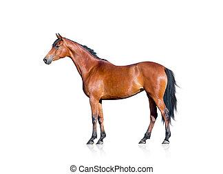 Bay Horse isoliert auf weiß.