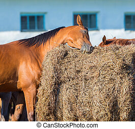 Bay Horse kratzt auf Heu.