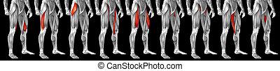 bein, muskel, 3d, koerperbau, satz, anatomisch, menschliche , sammlung, oder, höher