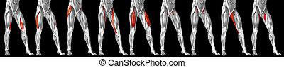 bein, sammlung, menschliche , 3d, oder, höher, satz, anatomisch, koerperbau, muskel