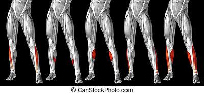 bein, sammlung, menschliche , senken, 3d, oder, satz, anatomisch, koerperbau, muskel