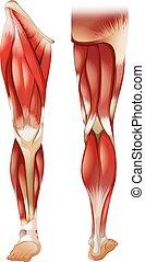 Beinmuskel.
