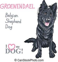 belgischer schäferhund, groenendael, rasse, hund, hund