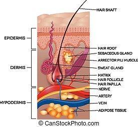 Beschriftete Haut und Haaranatomie. Detaillierte medizinische Illustration.