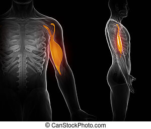 Biceps brachii schwarzer Anatomiemuskel isoliert.