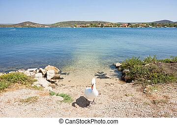 Bilice, Sibenik-Knin, Kroatien - Ein Schwan als Torhüter.