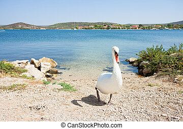 Bilice, Sibenik-Knin, Kroatien - Ein weißer Schwan, der zum Strand führt.