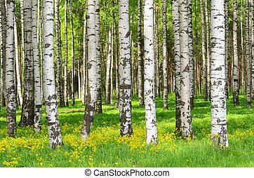 Birchbäume.